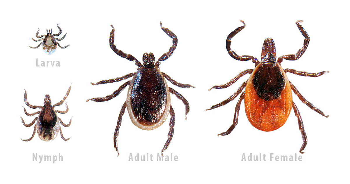 The Cdc Provides Regional Maps For Specific Species Only The Blacklegged Ticks Or Deer Ticks Transmit Lyme Disease They Look Like This